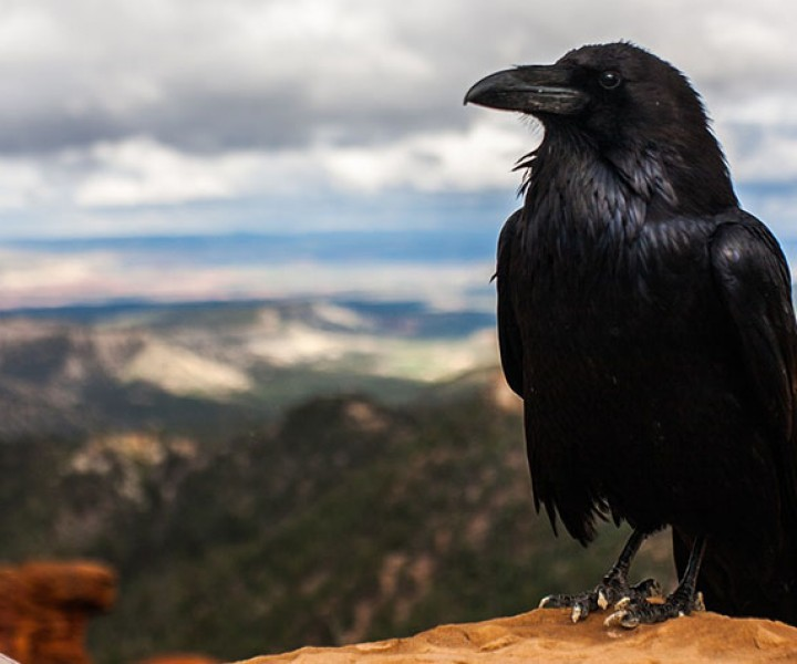 Throughout history a black crow has been associated with death